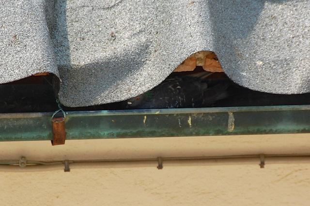duif-nest-goot