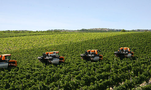 grape-harvest-chianti