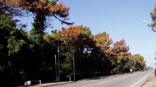 zieke-pijnbomen-italie