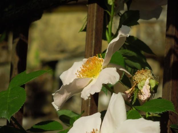 rozentuin-florence-6