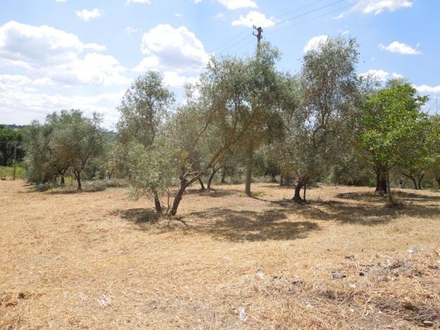 olijfboomgaard-opknappen-2b