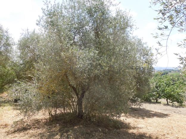 olijfboomgaard-opknappen-3a