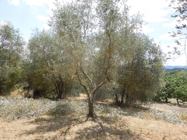 olijfboomgaard-opknappen-3b