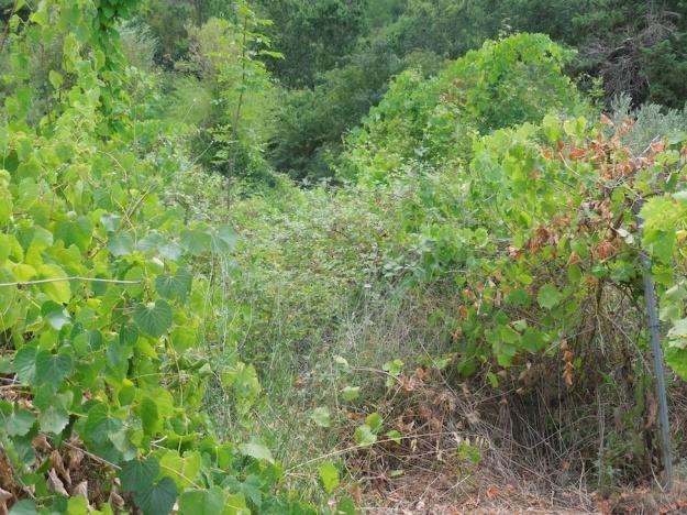 oude-wijngaard-herstellen-1