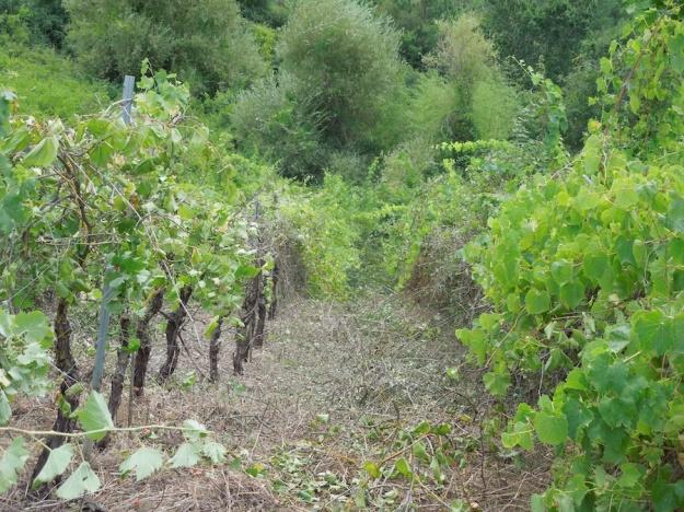 oude-wijngaard-herstellen-2